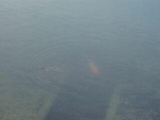 高塚公園亀と鯉20110816