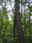 からまつの木