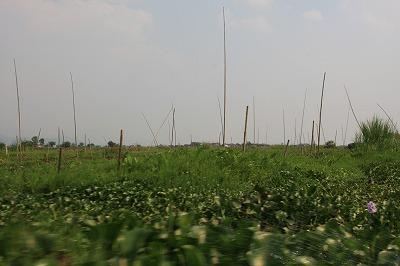 浮畑と繁茂するホテイアオイ