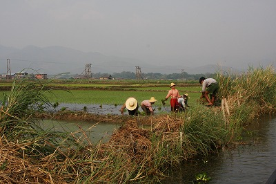 浮畑と湖面の間の「干拓地」での田植え