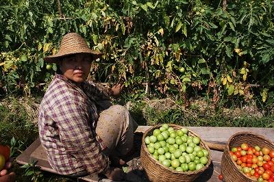 浮畑でのトマトの収穫