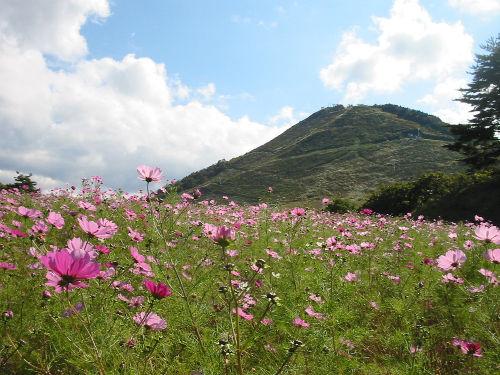 kosumosu-a.jpg