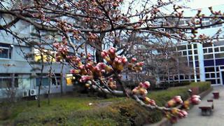 宇都宮の桜10.03.28-1