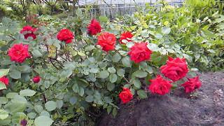 庭先の赤いバラ