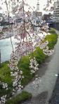 2011宇都宮のしだれ桜02