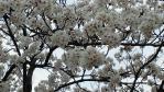 2011釈迦堂川の桜01
