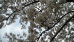2011釈迦堂川の桜03