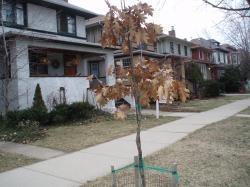 09 03-20 Oak Tree in March