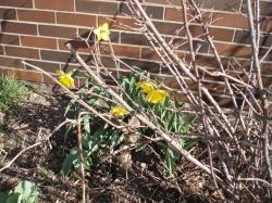 09 04-06 Daffodil