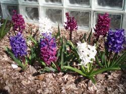 09 04-07 Hyacinth
