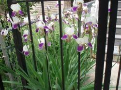 09 06-03 Iris white