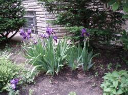 09 06-03 Iris purple