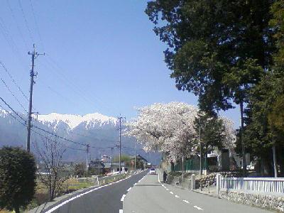 大御食神社の桜