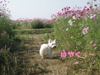 mini_mini_コスモス 010