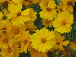 黄色いお花 017