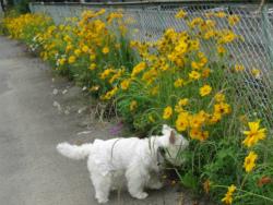黄色いお花 015