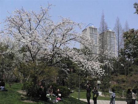 留学通信3号目:桜