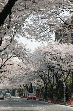 090406sakura.jpg
