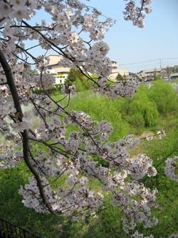090407sakura02.jpg