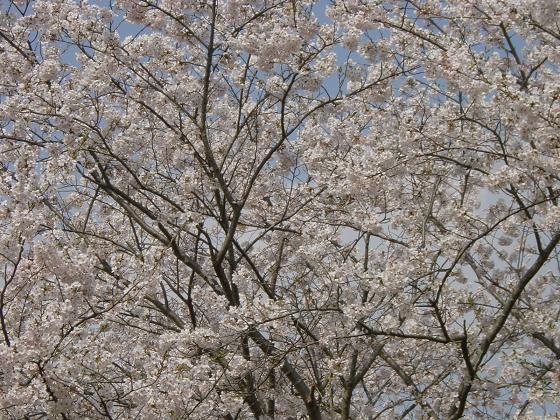 09年4月8日 庭の水仙と猿袋公園 028