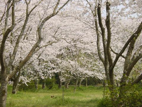 09年4月8日 庭の水仙と猿袋公園 022
