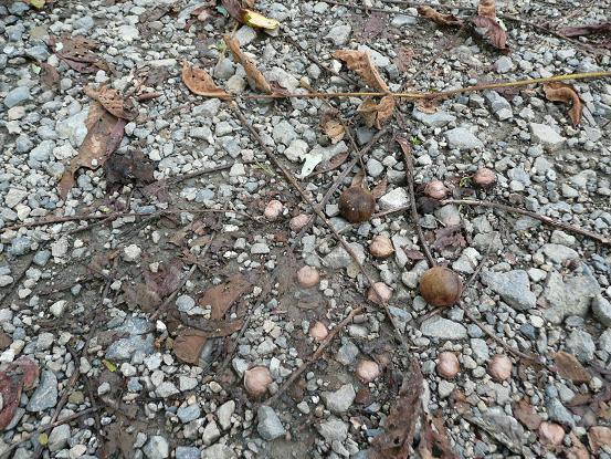 オニクルミの収穫 08,9,19 010