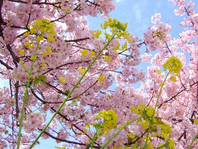 200803sakura06.jpg