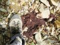 ヒグマのフン:山ブドウの皮と種子が多い