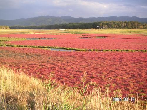 日本一のサンゴ草の群落