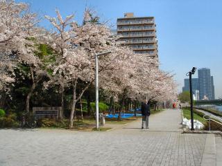 060405_桜満開