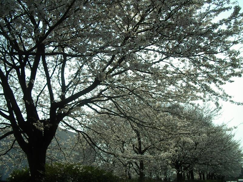 担当地域の桜の写真