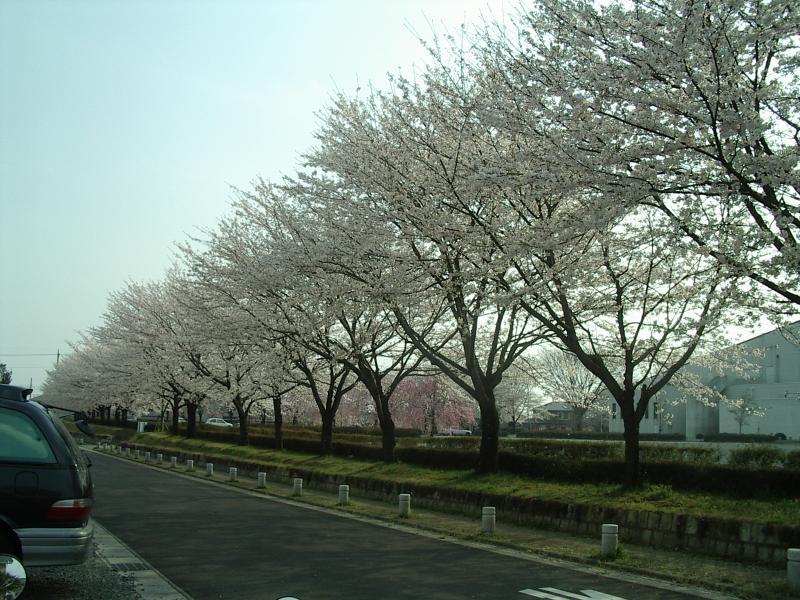 担当地域の桜の写真2