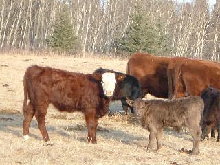 サル面とC5の子牛