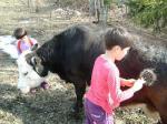 牛にブラシかけ