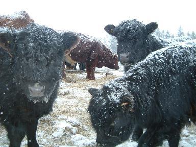 子牛022720071