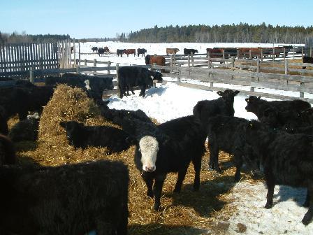 トラック待ちの子牛たち04072008