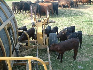 アンラベラーに群がる子牛たち06132007