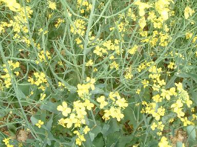 カノーラ花2007