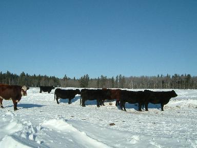 牛たち日光浴02062007