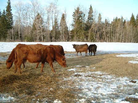 牛たち041720081