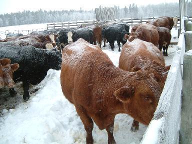 親牛たち12162007