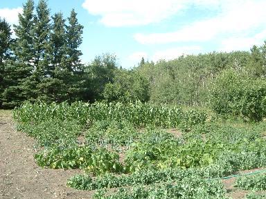 野菜畑081120071