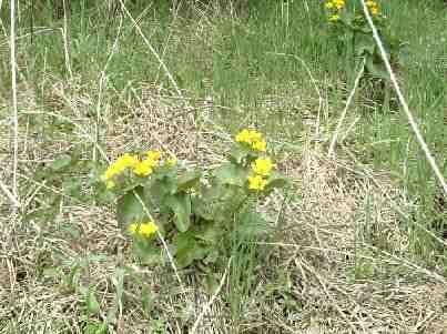 湿地に咲く野生のマリーゴールド