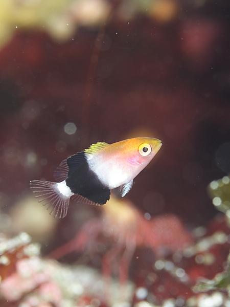 ヤマシロベラ幼魚