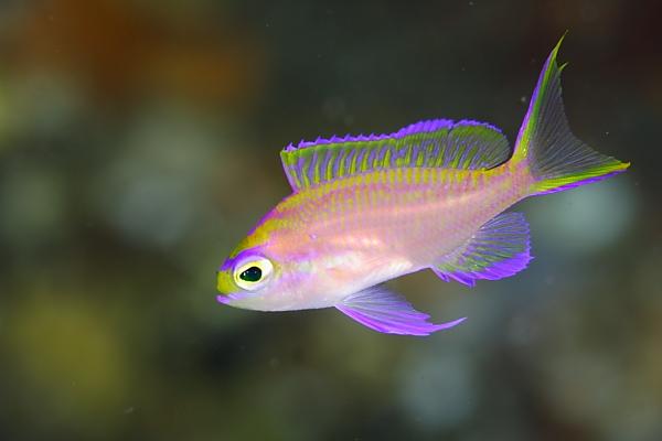イトヒキハナダイ幼魚1