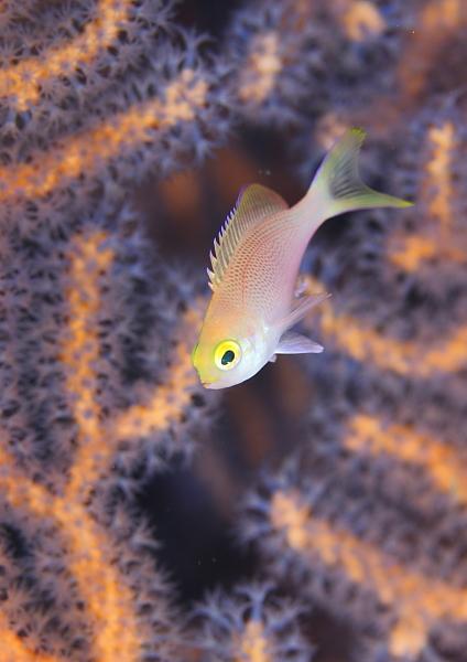 ベニハナダイ幼魚