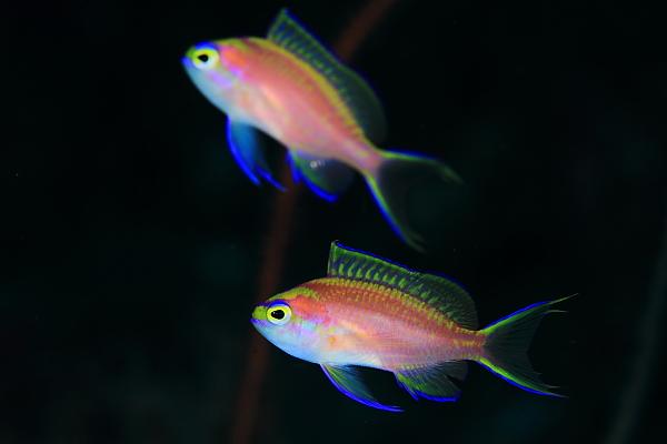 201102-イトヒキハナダイ幼魚