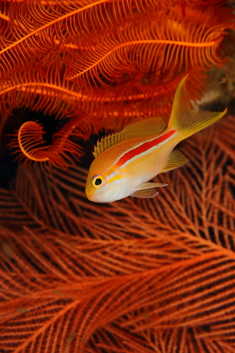201103スジハナダイ幼魚2