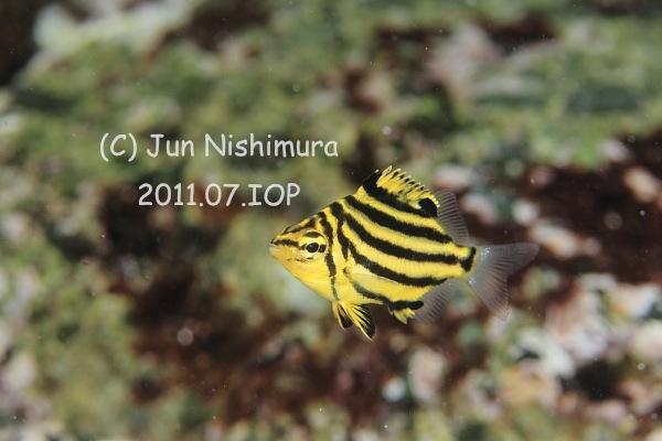 201107_カゴカキダイ幼魚