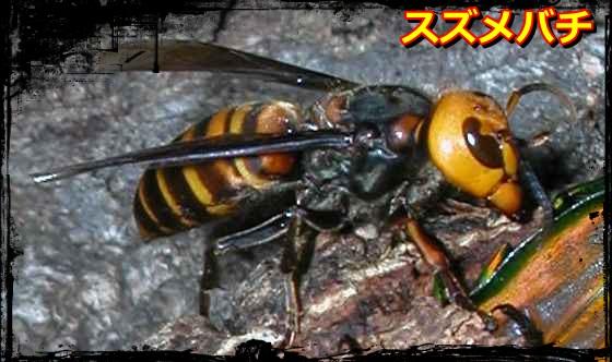 suzumebati_20110925024617.jpg